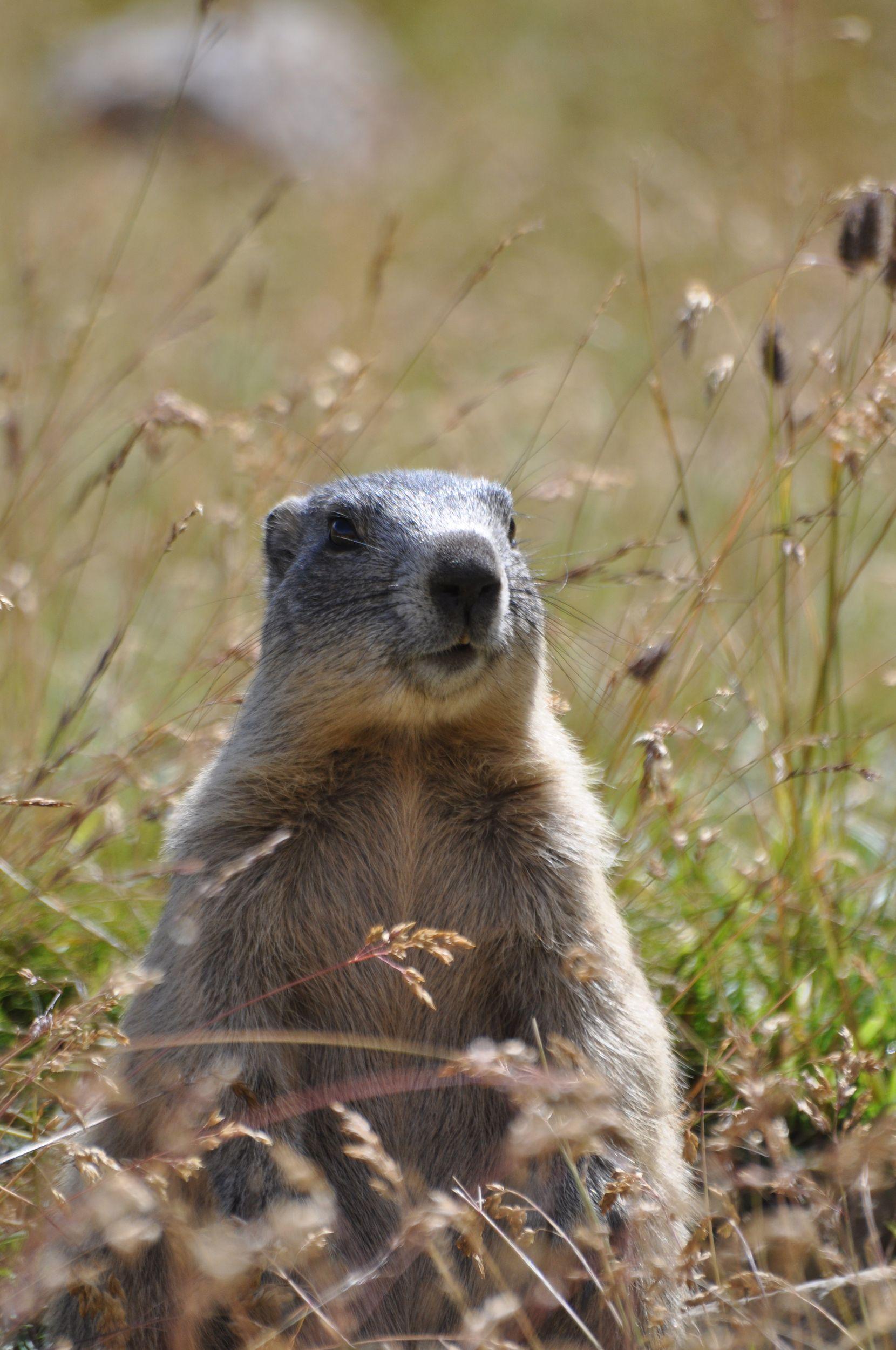35-marmotte-1